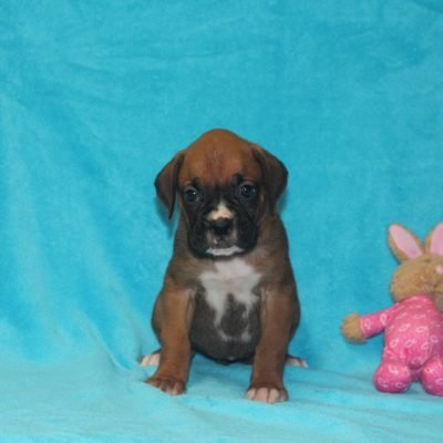 sydney - Boxer pups in Corning, Ohio for sale