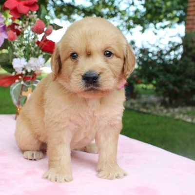 Abner - puppy Goldendoodles for sale near Fort Wayne, Indiana