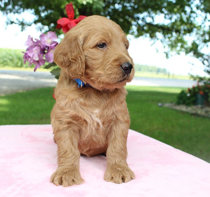 Alex - Goldendoodle puppies near Fort Wayne, Indiana for sale
