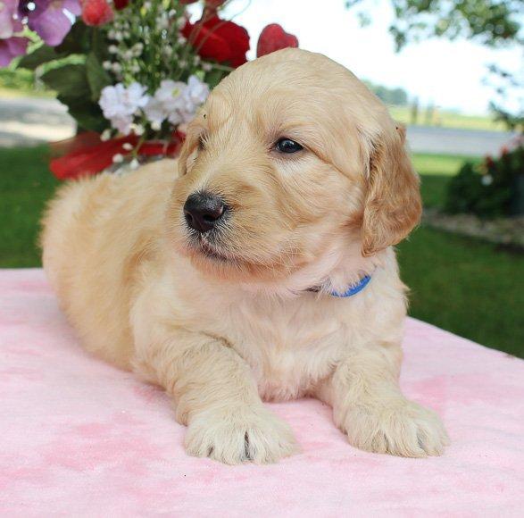 Allie - pup Goldendoodles for sale near Fort Wayne, Indiana