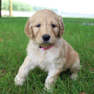Annie - Goldendoodle puppy in New Haven, Indiana for sale