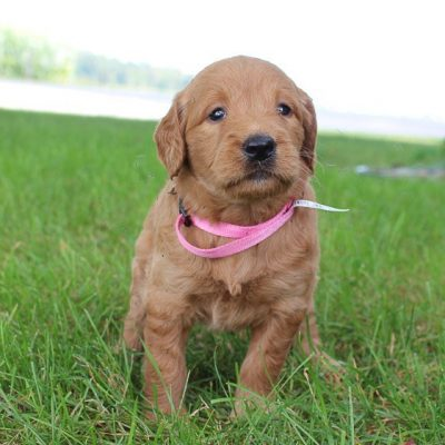 Anna - Goldendoodle dogie for sale in New Haven, Indiana