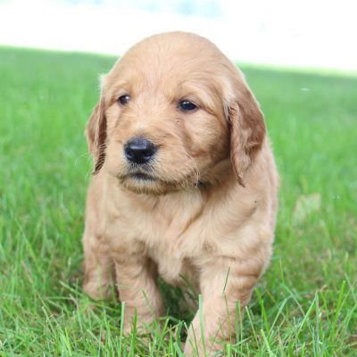 Angel - Goldendoodle doggies in New Haven, Indiana for sale
