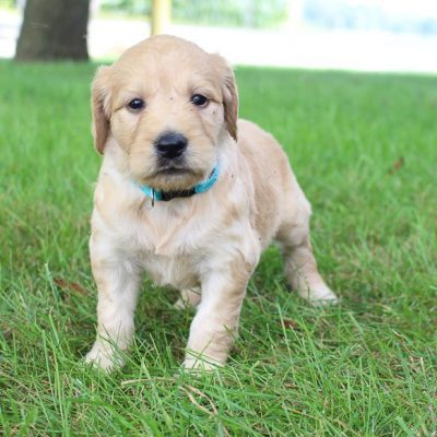 Alice - Goldendoodle pups for sale near Fort Wayne, Indiana