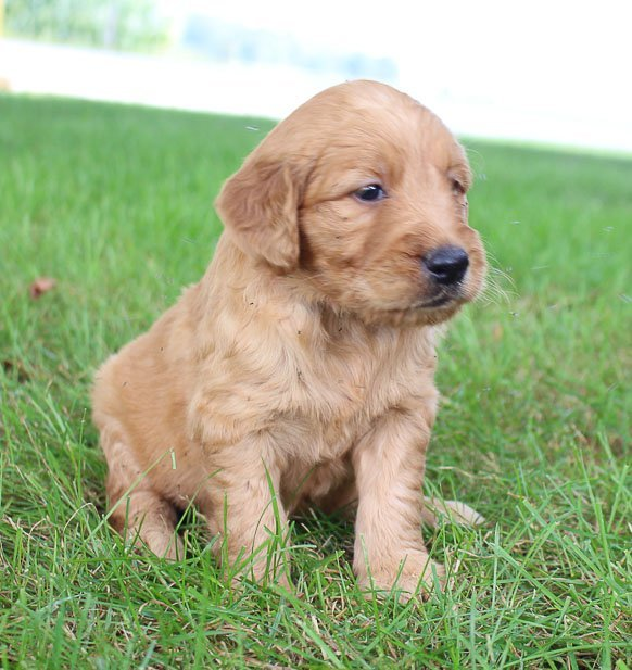 Abbie - pupper Goldendoodles near Fort Wayne, Indiana for sale | VIP Puppies