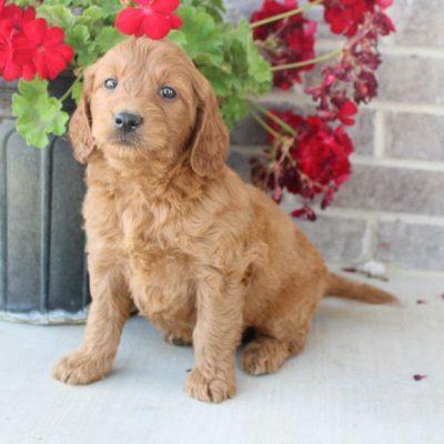 Jordan - Mini Goldendoodle dogs near Fort Wayne, Indiana for sale