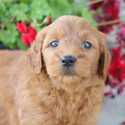 Jaden - Goldendoodle puppers near Fort Wayne, Indiana for sale