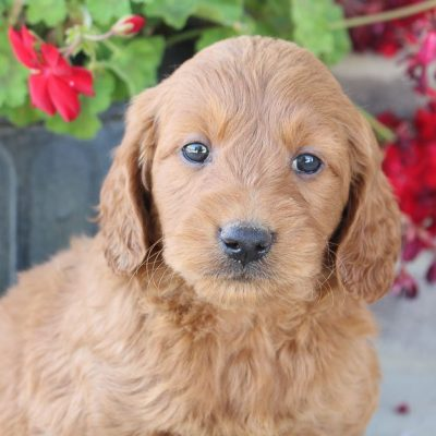 Jamie - Goldendoodle pups for sale near Fort Wayne, Indiana