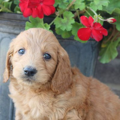 Jase - Goldendoodle puppy for sale near Fort Wayne, Indiana