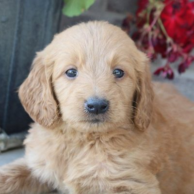 Jerry - male puppy Goldendoodles for sale in Woodburn, Indiana