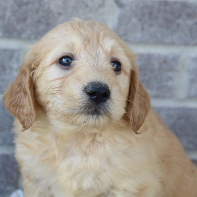 Josie - Goldendoodle doggies for sale near Fort Wayne, Indiana