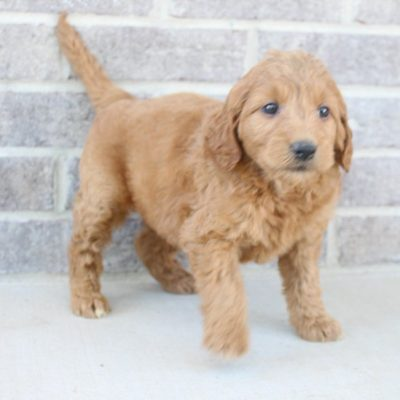 Jenitta - doggie Goldendoodles for sale near Fort Wayne, Indiana