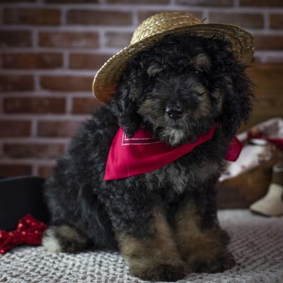 Red Boy - Bernedoodle puppies for sale in Winchester, Virginia