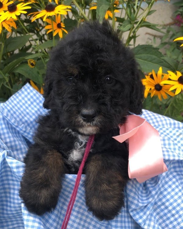 Maroon Girl - puppy Bernedoodles for sale in Winchester, Virginia
