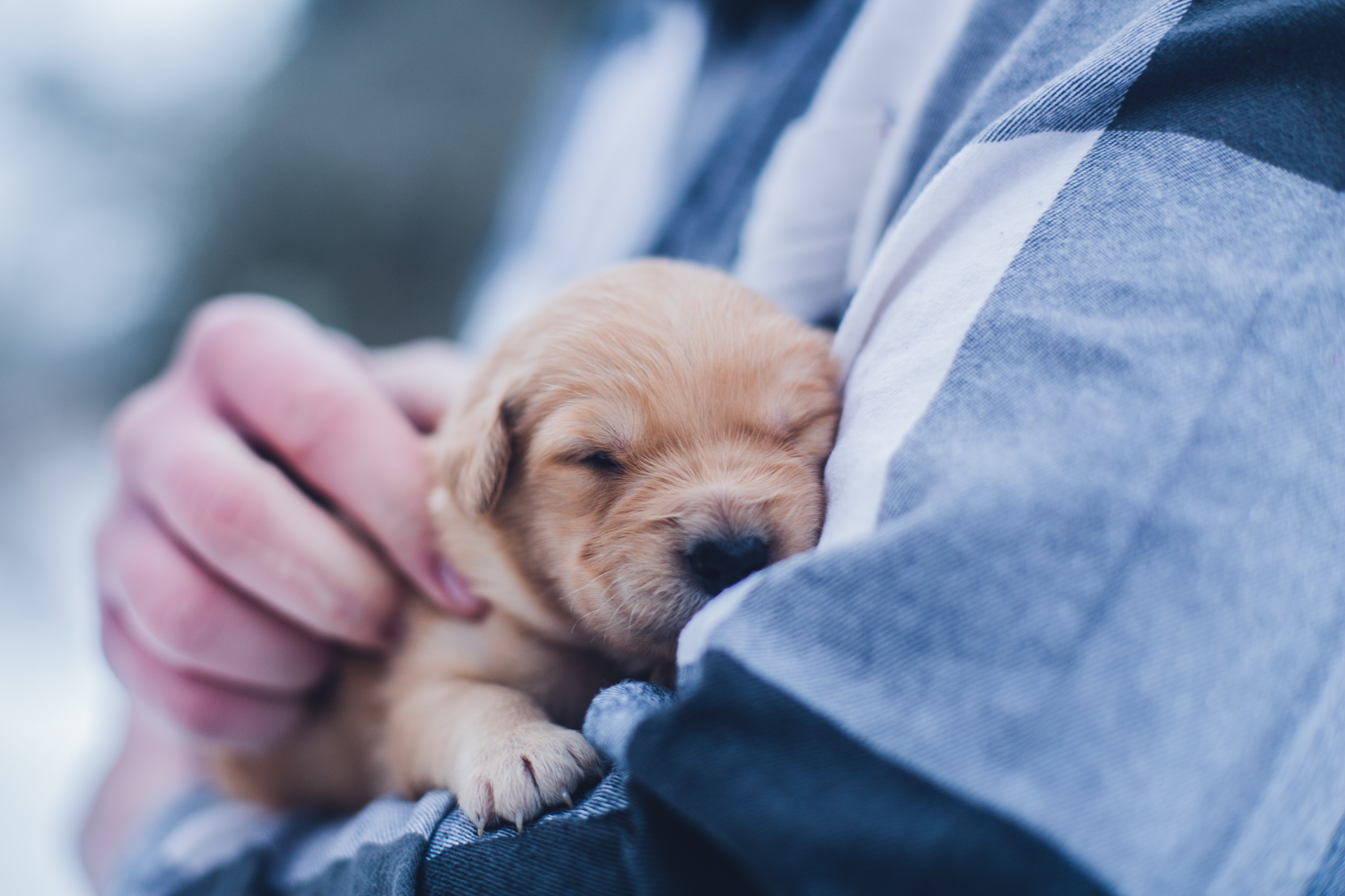 new puppy dog sleeping in a persons hands.