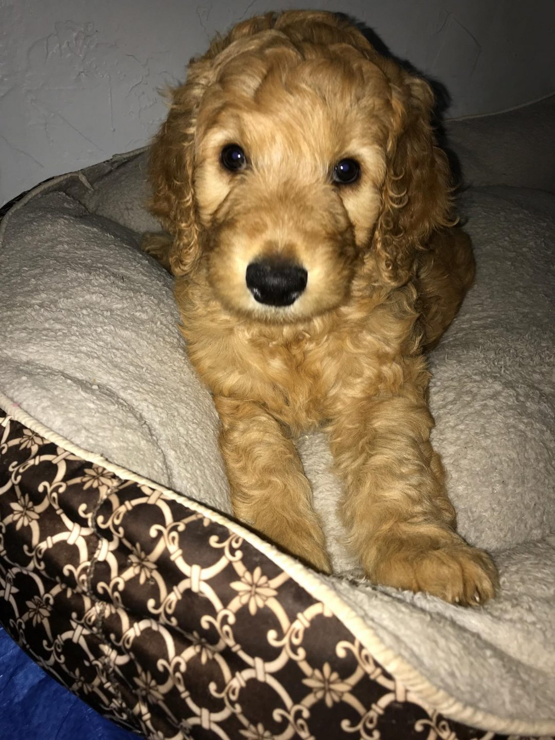 Labradoodle puppeis in Tyler, Texas for sale - Hunsinger's F1bb Female