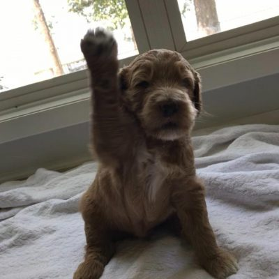 Labradoodle puppies in Tyler, Texas for sale - Hunsinger's F1bb Male