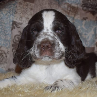 Iceman - AKC English Springer Spaniel dogs for sale in Penn Valley, California