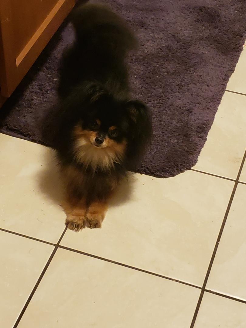 Xena - Female Pomsky puppy in Pekin, Illinois for sale