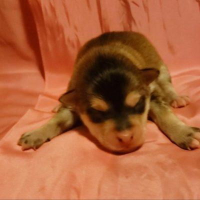 Xena - girl Pomsky doggies in Pekin, Illinois for sale