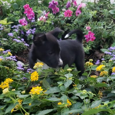Rocky - AKC Shiba Inu puppy for sale in Goshen, Indiana