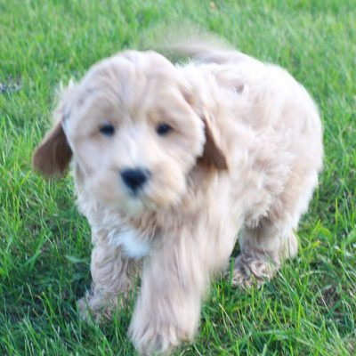Carr - AKC Cavapoo puppy for sale in Shipshewana, Indiana