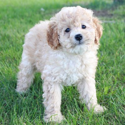 Carson - AKC Cavapoo puppies for sale in Shipshewana, Indiana