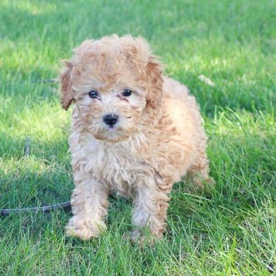 Parr - puppy Miniature Poodles for sale in Shipshewana, Indiana