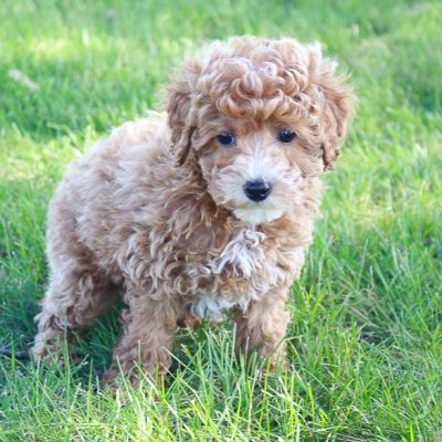 Parson - male Mini Poodle pupper in Shipshewana, Indiana for sale