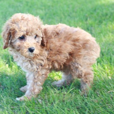 Patch – Mini Poodle pups for sale in Shipshewana, Indiana