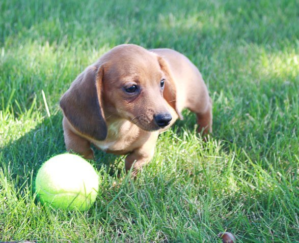 Denver - AKC Dachshund dogs for sale in Shipshewana, Indiana