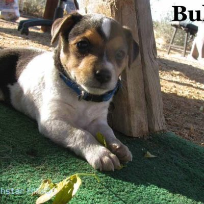 Bull (SOLD) - puppy Parson Jack Russell Terriers for sale in Wikieup, Arizona