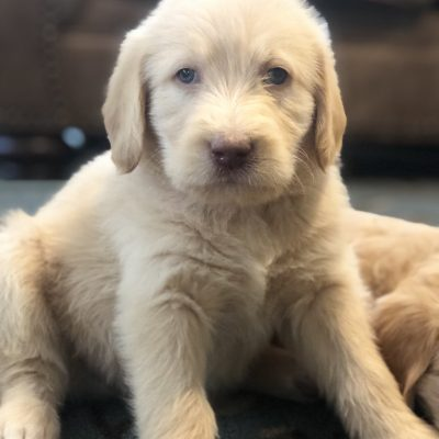 Mr. Fluff - male Labradoodle puppy for sale in Mesa, Arizona