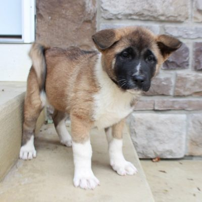 Ada - female AKC Akita doggie for sale near Fort Wayne, Indiana