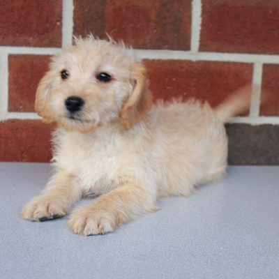 Lane - male Labradoodle pup for sale in New Haven, Indiana
