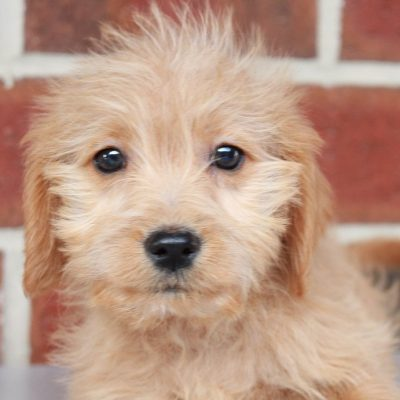 Lucky – Mini Labradoodle puppies for sale near me (New Haven, Indiana)
