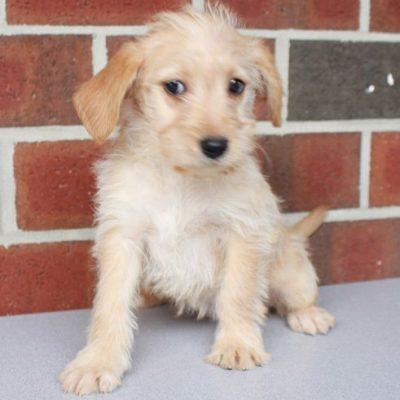 Lauriee - MINI female Labradoodle puppies for sale in New Haven, Indiana