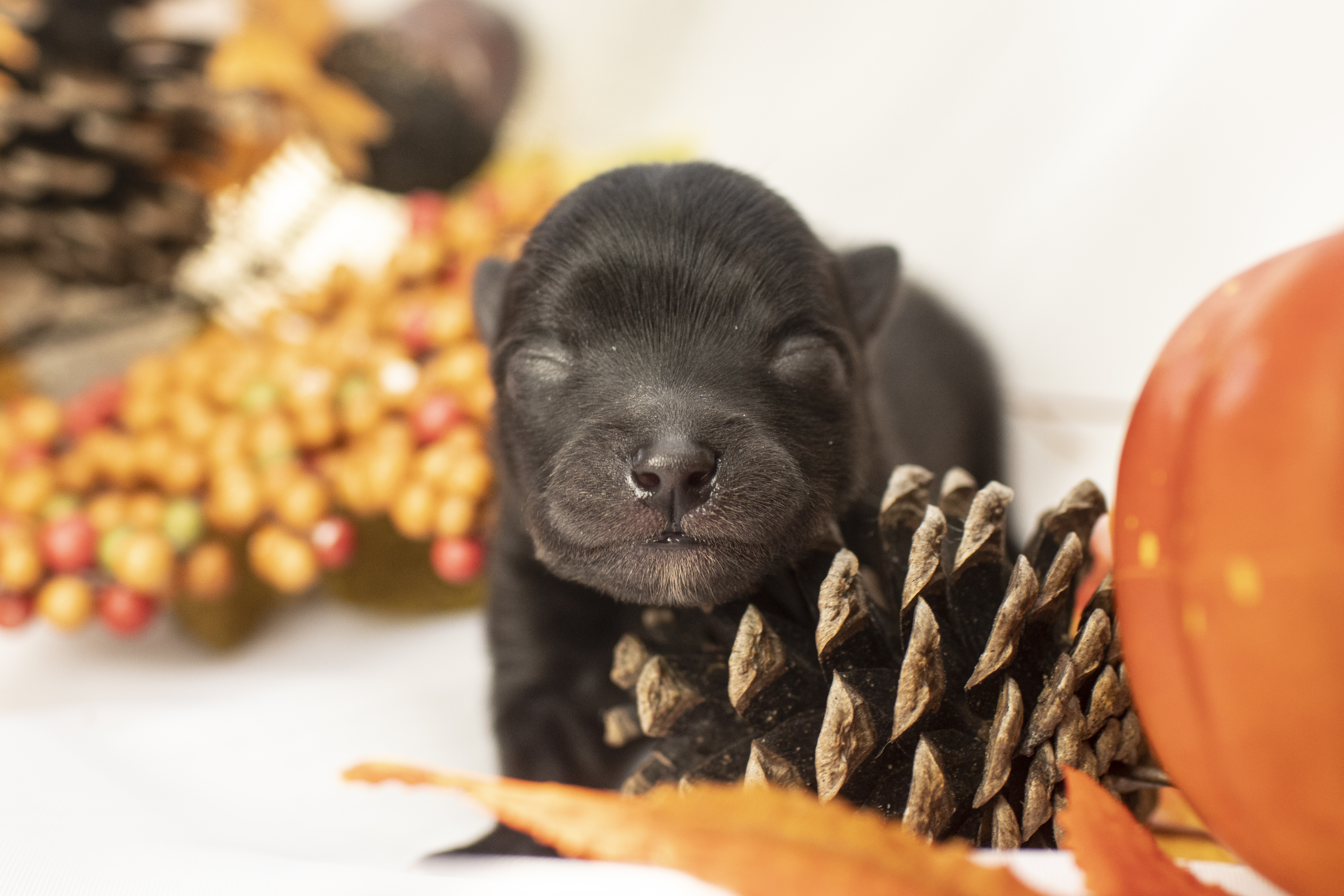 Neo – pompsky puppy for sale in Los Angeles (Copy)