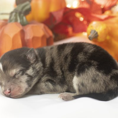 Drogo - pompsky puppy for sale in Los Angeles