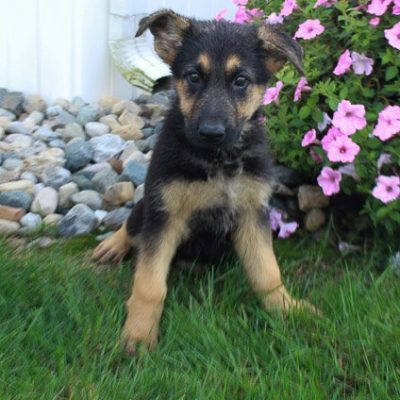 Minnie - German Shepherd puppy for sale in Grabill, Indiana