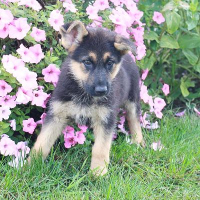 Mindy - AKC German Shepherd pups for sale in Grabill, Indiana