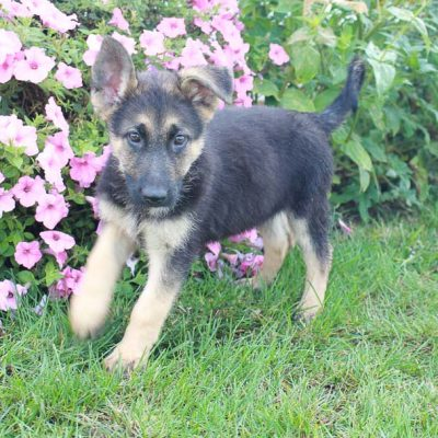 Misty - AKC female German Shepherd doggies for sale near Fort Wayne, Indiana