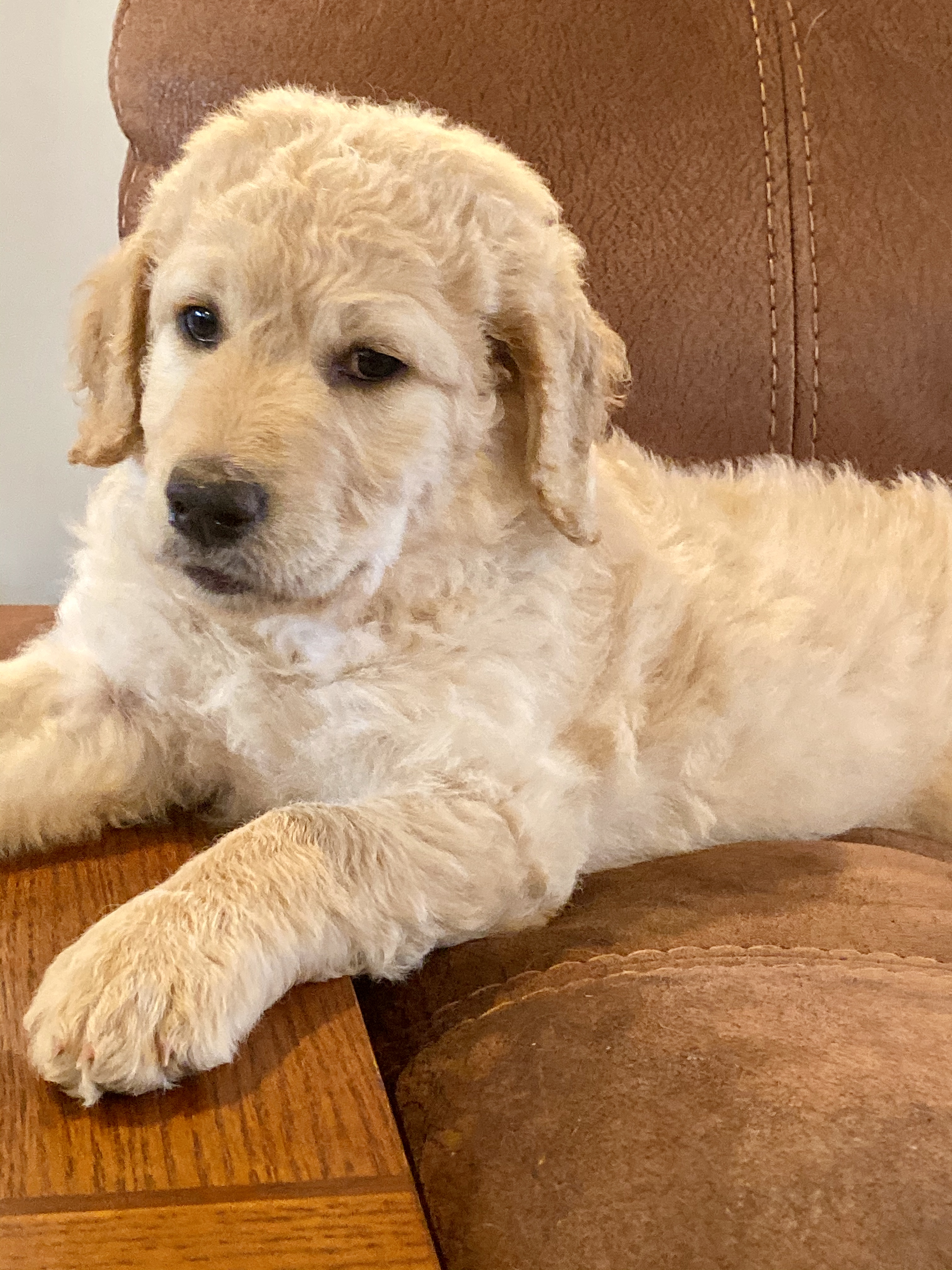 Miss Green - Goldendoodle puppies for sale near Huntsville, Alabama | VIP  Puppies