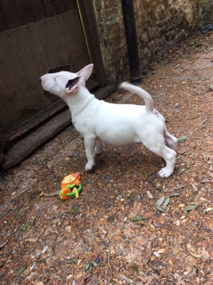 Jerry-AKC Bull Terrier Puppy for sale in Los Angeles California
