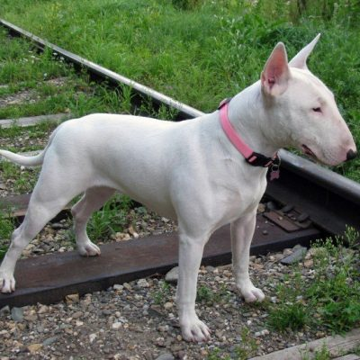 Sasha, playful Miniature Bull Terrier puppy in Los Angeles California for sale