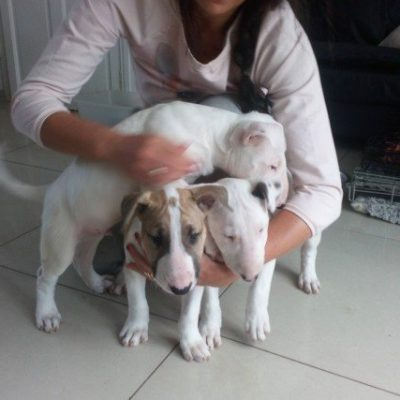 English bull terrier puppies AKC registered 12 weeks old in Chicago Illinois TEXT (567) 333-7079