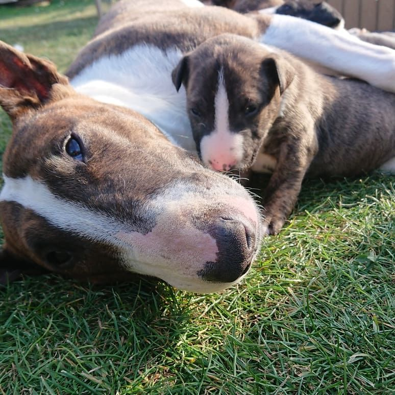English bull terrier puppies in ABBEVILLE AL TEXT (567) 333-7079