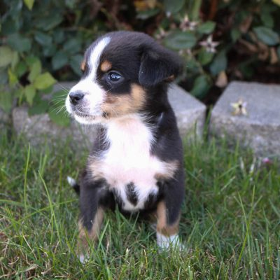 Brianna - AKC pupper Greater Swiss Mountain Dogs in New Haven, Indiana for sale