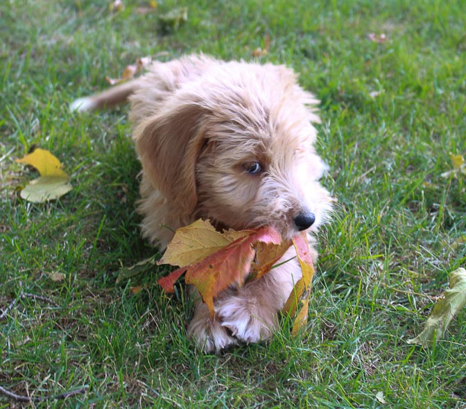 Mariah - female Labradoodle pupper for sale in Woodburn, Indiana