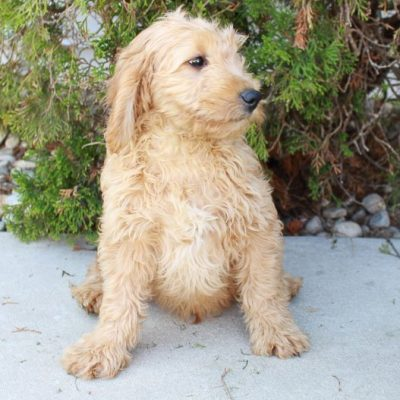 Taylor - Goldendoodle puppies for sale near Grabill, Indiana
